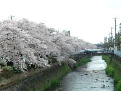 Sakuratennjingawa
